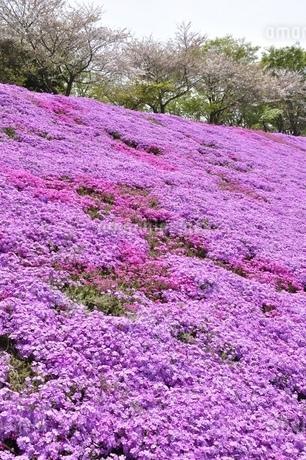 芝桜と桜の写真素材 [FYI02919521]