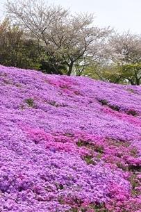 芝桜と桜の写真素材 [FYI02919522]
