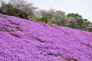 芝桜と桜の写真素材 [FYI02919523]