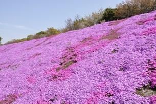 芝桜と桜の写真素材 [FYI02919524]