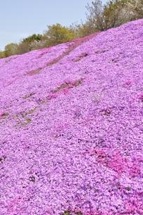 芝桜と桜の写真素材 [FYI02919525]
