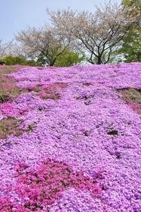 芝桜と桜の写真素材 [FYI02919526]