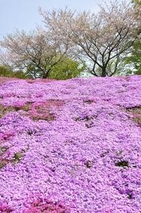 芝桜と桜の写真素材 [FYI02919527]