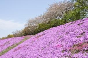 芝桜と桜の写真素材 [FYI02919528]