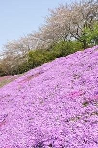 芝桜と桜の写真素材 [FYI02919529]
