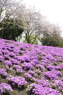 芝桜と桜の写真素材 [FYI02919530]