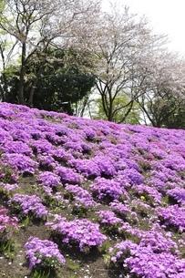 芝桜と桜の写真素材 [FYI02919531]
