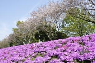 芝桜と桜の写真素材 [FYI02919532]