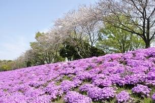 芝桜と桜の写真素材 [FYI02919533]