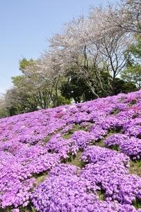 芝桜と桜の写真素材 [FYI02919534]