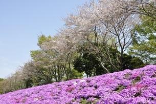 芝桜と桜の写真素材 [FYI02919535]