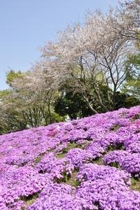 芝桜と桜の写真素材 [FYI02919536]
