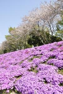 芝桜と桜の写真素材 [FYI02919537]