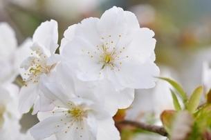 桜の写真素材 [FYI02919568]