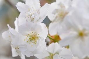 桜の写真素材 [FYI02919569]