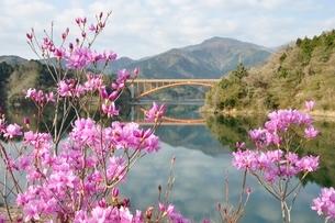 ミツバツツジ咲く宮ヶ瀬湖の写真素材 [FYI02919579]