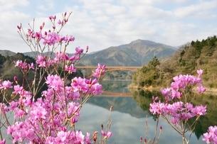 ミツバツツジ咲く宮ヶ瀬湖の写真素材 [FYI02919580]