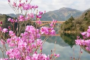ミツバツツジ咲く宮ヶ瀬湖の写真素材 [FYI02919581]