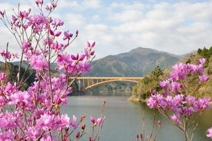 ミツバツツジ咲く宮ヶ瀬湖の写真素材 [FYI02919584]
