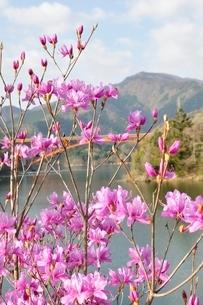 ミツバツツジ咲く宮ヶ瀬湖の写真素材 [FYI02919585]