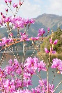 ミツバツツジ咲く宮ヶ瀬湖の写真素材 [FYI02919586]