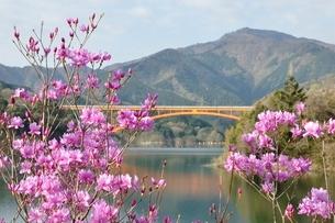 ミツバツツジ咲く宮ヶ瀬湖の写真素材 [FYI02919587]