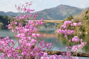 ミツバツツジ咲く宮ヶ瀬湖の写真素材 [FYI02919588]