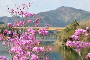 ミツバツツジ咲く宮ヶ瀬湖の写真素材 [FYI02919589]