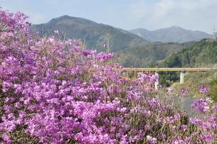 ミツバツツジ咲く宮ヶ瀬湖の写真素材 [FYI02919590]