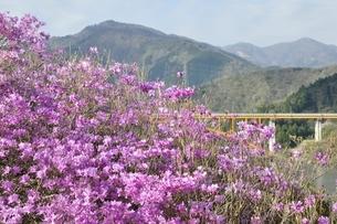 ミツバツツジ咲く宮ヶ瀬湖の写真素材 [FYI02919591]