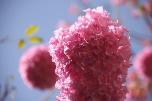 ブラジル国花のイペーの写真素材 [FYI02919623]