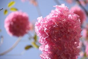 ブラジル国花のイペーの写真素材 [FYI02919637]