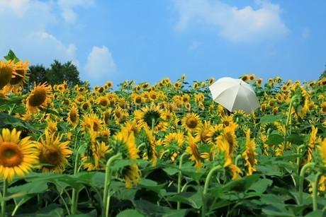 青空を背景に広がるひまわり畑と日傘の人の写真素材 [FYI02919706]