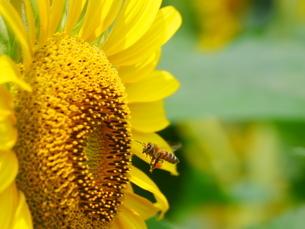ひまわりと蜜蜂の写真素材 [FYI02919707]