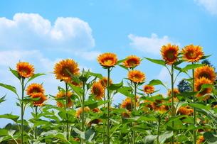 青空を背景に咲き揃うひまわりの写真素材 [FYI02919708]