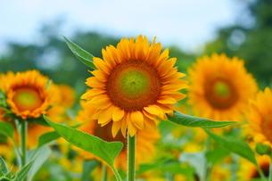 晴天に咲き揃うひまわりの写真素材 [FYI02919709]