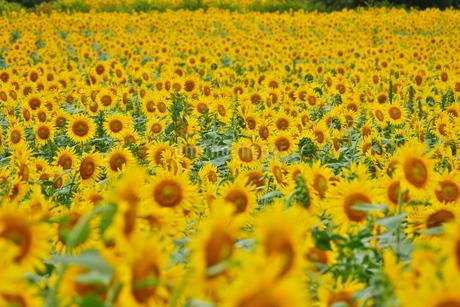 広がるひまわり畑の写真素材 [FYI02919712]