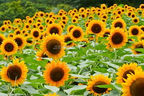 咲き揃うひまわりの写真素材 [FYI02919713]