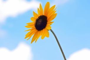 青空を背景に咲く一輪のひまわりの写真素材 [FYI02919714]