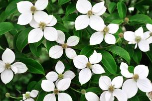 一面のヤマボウシの花の写真素材 [FYI02919722]