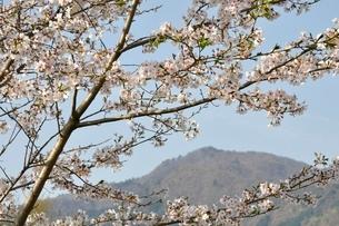 桜と本間ノ頭の写真素材 [FYI02919784]