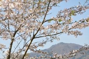 桜と本間ノ頭の写真素材 [FYI02919786]