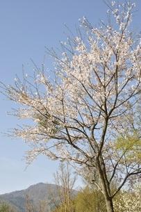 桜と本間ノ頭の写真素材 [FYI02919795]