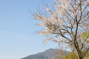 桜と本間ノ頭の写真素材 [FYI02919798]