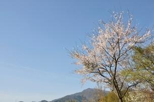 桜と本間ノ頭の写真素材 [FYI02919800]