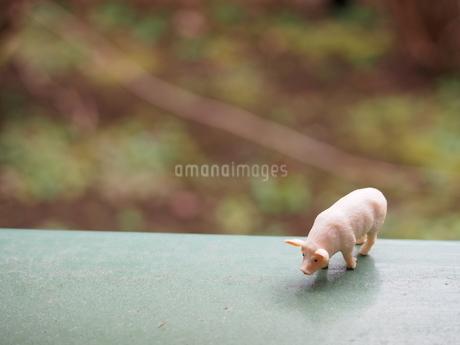 正面から見た豚のミニチュアの写真素材 [FYI02919870]