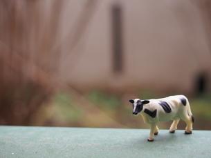 正面から見たミニチュアの牛の写真素材 [FYI02919872]