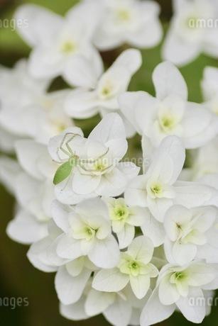 蜘蛛と紫陽花の写真素材 [FYI02919896]