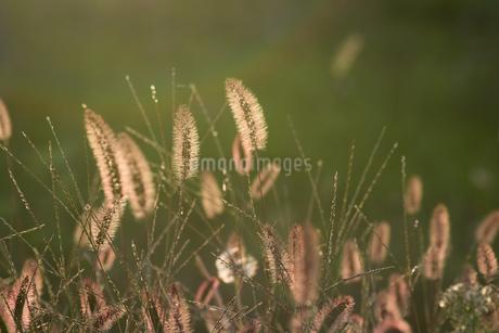 夕日に光るエノコログサの写真素材 [FYI02920025]