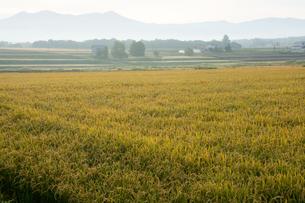 黄金色に稔った水田の写真素材 [FYI02920032]